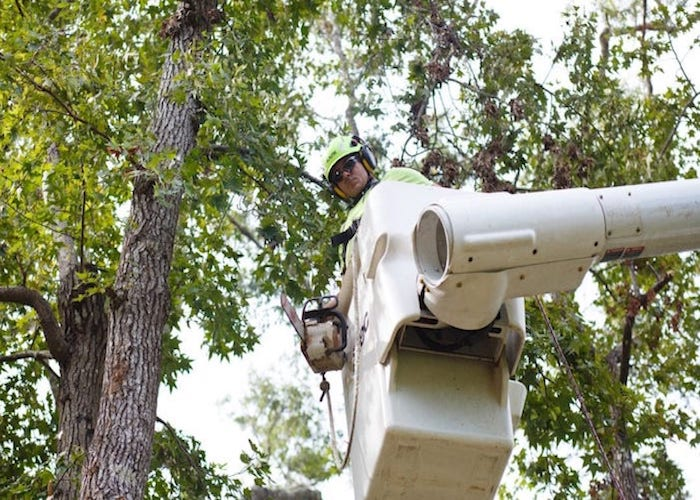 Tree trimmer in bucket truck working on a silver maple